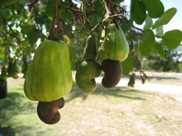 15,000 farmers benefit from cashew nut project