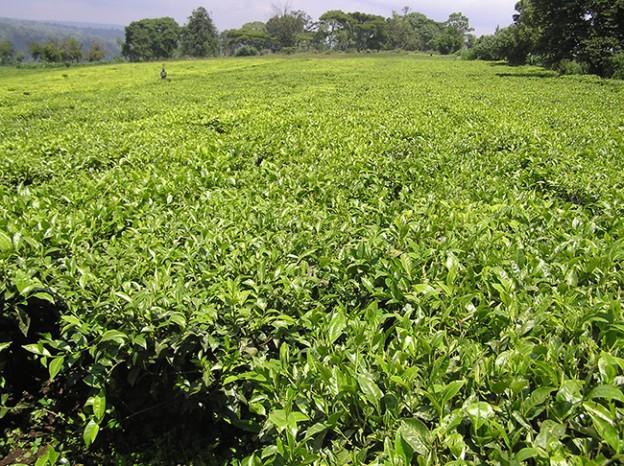 IDC to inject more funds in Kawambwa Tea