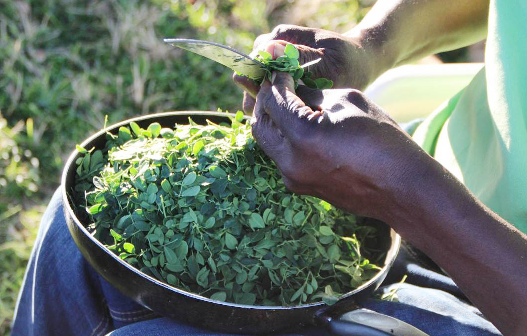 Moringa: Why is it called the miracle tree?